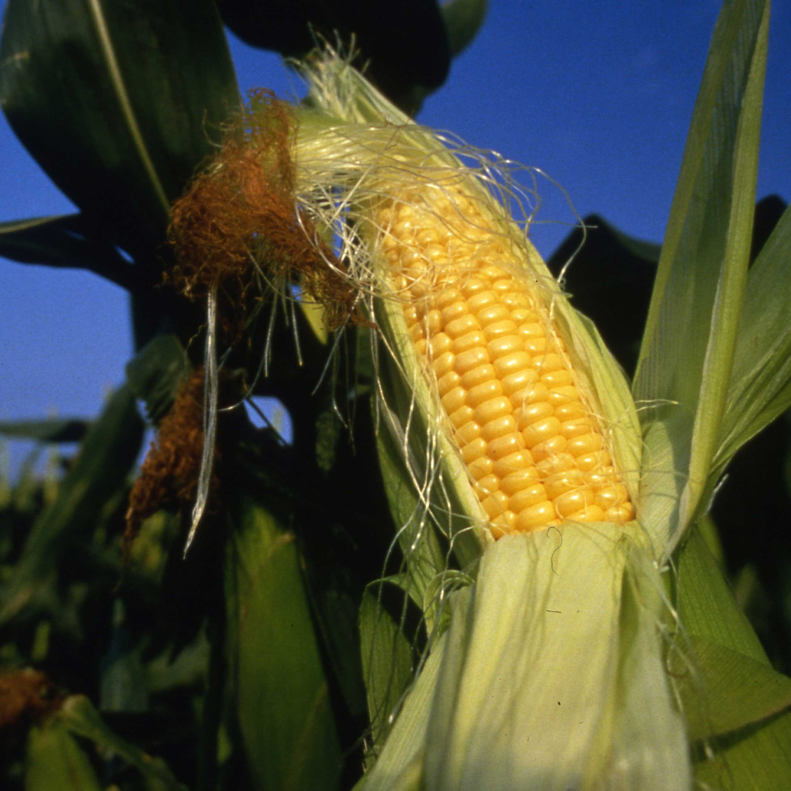 Sink your teeth into Arizona agriculture with a tasty trip to the 25th annual Verde Valley Corn Fest July 17th and 18th.