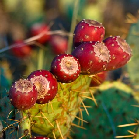 It's summer and prickly pear cactus fruit are abundant! Take a prickly pear class and learn about this common desert fruit at Boyce Thompson Arboretum August 1, 2, 29, and 30 in Superior.